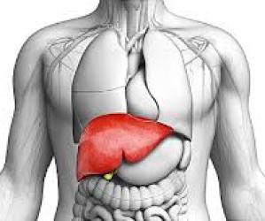 Il fegato nella storia.